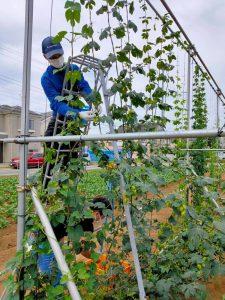小川農園 初ホップ収穫