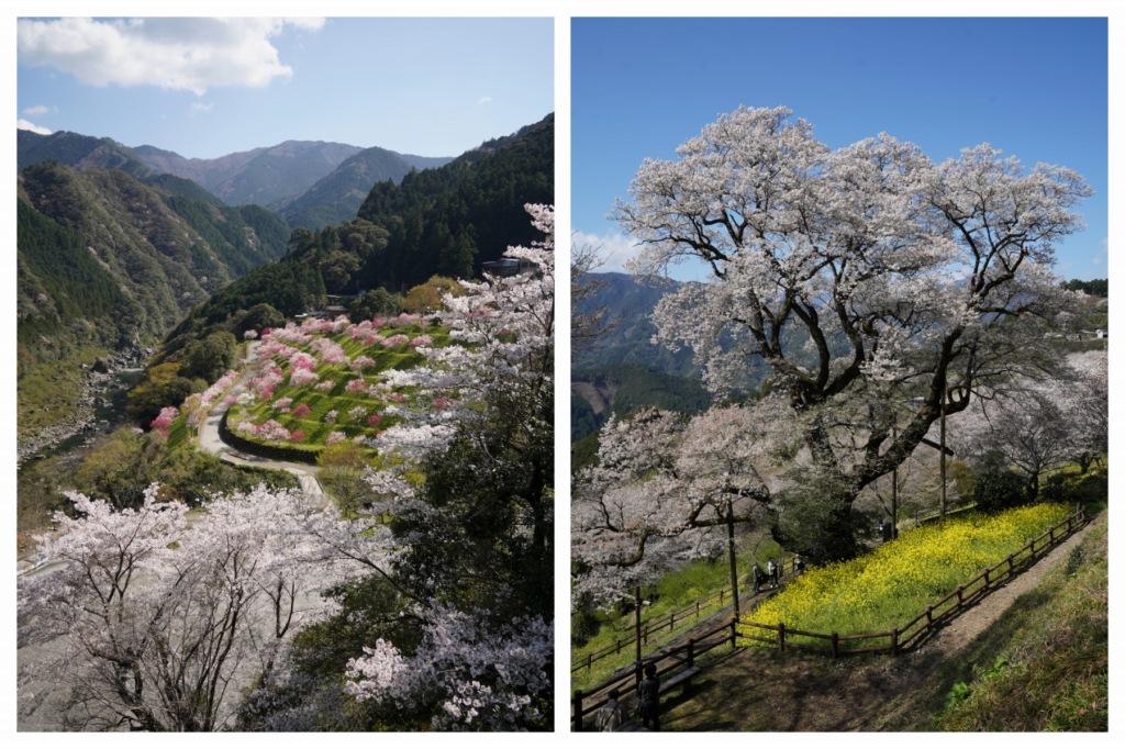 Mukai Craft Brewing 桜の季節