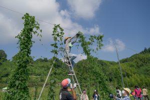 HOTANI HOP PJ ホップ収穫