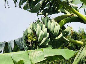 港北でバナナ